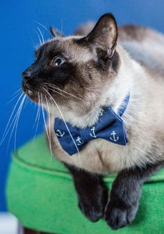Bow ties are cool meow Fur-st Mate Cat Collar, Crazy Cat Lady, Crazy Cats, Siamese Cats, Cats And Kittens, Cat Bow Tie, Bow Ties, Cat Collars, Pet Accessories, I Love Cats