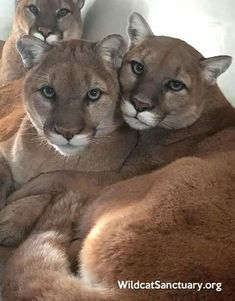 Beautiful mountain lions, aka: cougars, pumas. Click on the link to check out great cat and kitten products at www.bowchickameowmeow.com