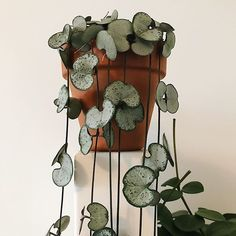lantaarn plantje We are want to say thanks if you like to share this pos Chinees lantaarn plantje We are want to say thanks if you like to share this pos. - -Chinees lantaarn plantje We are want to say thanks if you like to share this pos. Hanging Plants, Potted Plants, Garden Plants, Indoor Plants, Shade Plants, Cactus Plants, Indoor Cactus, Plantas Indoor, Decoration Plante