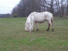 Gallery - McCafferty's American White Draft Horses Draft Horses, American, Gallery, Animals, Roof Rack, Animaux, Animal, Animales, Animais