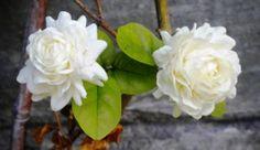 Jasmim árabe (Jasminum sambac)