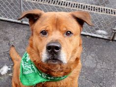 TO BE DESTROYED - 04/02/15 Manhattan Center -P My name is MICHAEL. My Animal ID # is A1030799. I am a male brown chow chow mix. The shelter thinks I am about 3 YEARS old. I came in the shelter as a STRAY on 03/20/2015 from NY 10458, owner surrender reason stated was STRAY. https://www.facebook.com/photo.php?fbid=981298381883041