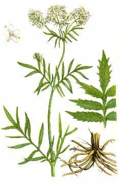Kozlík lékařský | Zdraví na dlani Healing Herbs, Korn, Health, Fitness, Health Care, Medicinal Plants, Herbal Medicine, Salud