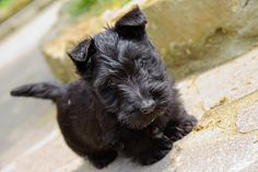 They are the CUTEST puppies. | 21 Reasons Scottish Terriers Are The Champions Of Our Heart. (#22: They are sassy!!)