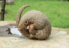 Pangolin | Wildlife of the World: Pangolin Animal Facts & Images 2013