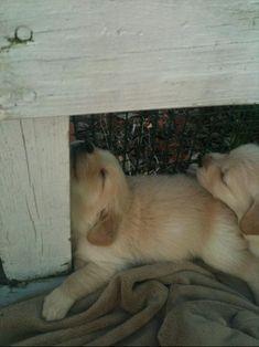 Puppies can sleep anywhere, just like big, fury rocks. <3