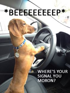 wiener road rage (Yup, that's a Dachshund for ya'! Cute Puppies, Cute Dogs, Dogs And Puppies, I Love Dogs, Puppy Love, Funny Animals, Cute Animals, Funny Cats, Dachshund Love