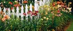 Daylillies against picket fence