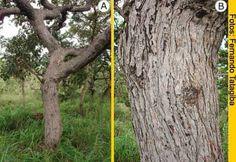 A. Tronco e ramos tortuosos do Pequizeiro; B. Casca com fissuras e cristas descontínuas no tronco do pequizeiro.