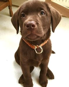 Look at this chocolate munchkin ?You can find Lab puppies and more on our website.Look at this chocolate munchkin ? Labrador Retriever Chocolate, Brown Labrador, Chocolate Lab Puppies, Chocolate Labs, Retriever Puppies, Labrador Retrievers, Labrador Puppies, Golden Retrievers, Cute Dogs And Puppies