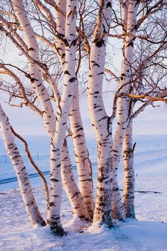Birches, Snow, Plants, Photography, Painting, Outdoor, Outdoors, Photograph, Fotografie