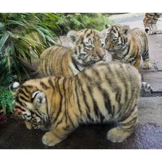 Lil tiger cubs r cute. In one year they r majestic but definitely no longer cute. Hakuna Matata