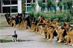 Tranquillement ce chat passe devant une bande de chiens policiers, pouvant à tout moment le pourchasser. Mais non, il stresse pas de la vie et passe tranquillement. MDR