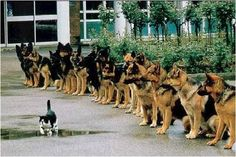 Kitty cat strolling in front of some VERY well trained German Shepherd police dogs.