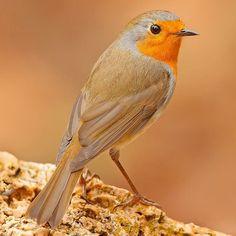 European Robin on the rock