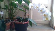 Orchidea completamente fiorita