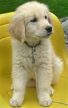 i don't think any puppy is as cute as golden retriever puppies.