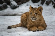 liliger cubs - Google Search