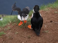 """""""Will you PLEASE REFRAIN FROM THE PHOTOGRAPHY??""""   12 Puffins Dressed As Gentlemen"""