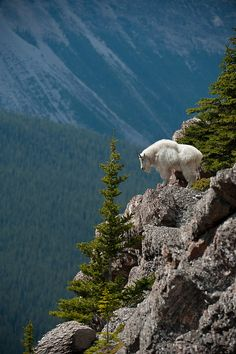mountain-goat-bynum-1218.jpg (599×900)