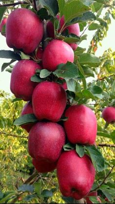 Fruit Plants, Fruit Garden, Fruit Trees, Best Fruits, Healthy Fruits, Fresh Fruits And Vegetables, Fruit And Veg, Beautiful Fruits, Beautiful Flowers