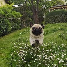 Flying pug! Tag a friend who loves pugs too! Original by @lola_mopsi