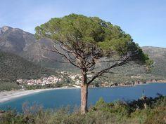 pine nuts tree