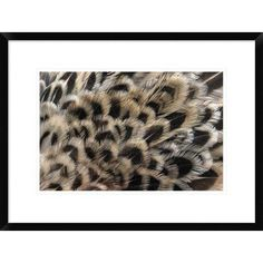 Global Gallery 'Ring-Necked Pheasant Close Up of Females Feathers, Europe' Framed Photographic Print Size: