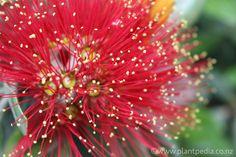 Metrosideros Excelsa, Pohutukawa, New Zealand Christmas tree. Tresco Abbey Gardens, Native Plants, New Zealand, Dandelion, Hobbies, Christmas Tree, Flowers, Crafts, Fire