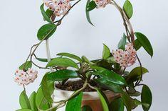 Planta colgante Hoya bella.
