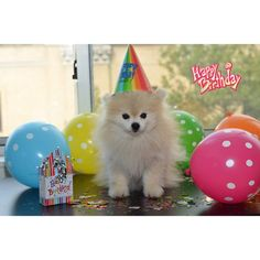 Tommy the adorable white pomeranian having a birthday party Happy Birthday Dog Meme, Happy Birthday Italian, Dog Birthday, Birthday Wishes, Birthday Memes, Birthday Messages, Birthday Greetings, Birthday Ideas, Birthday Cards