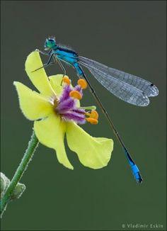 Flower-and-Dragonfly-by-Vladimir-Eskin