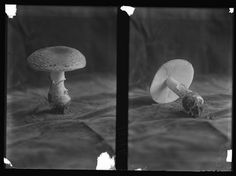 Amanita muscaria, two views of a mushroom. Taken as part of the Huron H. Smith Expedition to Oregon, 1910