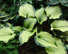 Hosta 'Beckoning' - I really like the colors on this Hosta