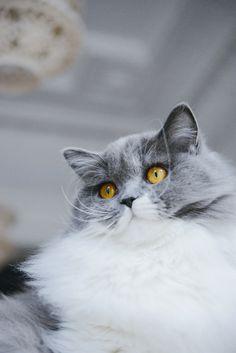 British Longhair bleu et blanc - Vanessa Pouzet