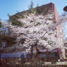 maidennoirr / Spring into Blossom #flower #더외롭다 #샹 / #골목 #거리 #식물 / 2013 04 05 /
