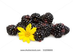 Food & Drinks - Fruits - Blackberries decorated with yellow cape daisy,  isolated on white background.#foodphotos #stockphotos #healthyfood #foodingredients #fruits #ItalianFood #Shutterstock #bio #naturalfood #eatingwell