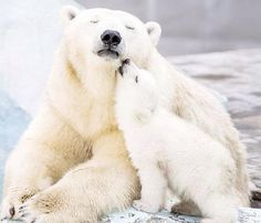 A perfect love: Polar bear Gerda, six, cuddles up with her cub at Novosibirsk Zoo in Russia Mundo Animal, My Animal, Nature Animals, Animals And Pets, Wild Animals, Cute Baby Animals, Funny Animals, Baby Polar Bears, Bear Cubs