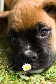 """I saved this one just for you!"" #dogs #pets #Boxers Facebook.com/sodoggonefunny"