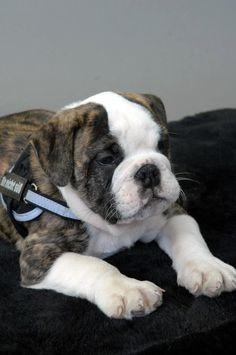 Adorable English Bulldog Puppy