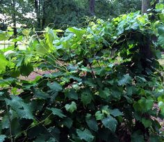 How to Grow Muscadine Grapes in Your Garden