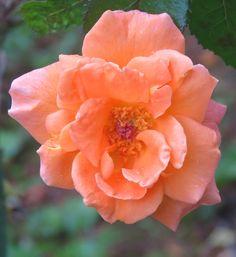 Miss. Peach