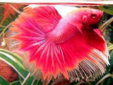 pink fish pink betta fish