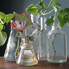 plant propagation--love the plant in the Erlenmeyer flask Outdoor Plants, Outdoor Gardens, Indoor Garden, Garden Plants, Container Gardening, Gardening Tips, Plant Cuttings, Old Bottles, My Secret Garden