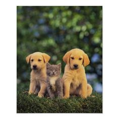 Retriever Puppies and Kitten Posters