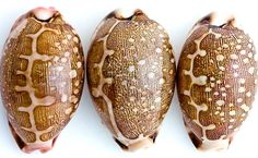 Map Cowries.....these would make great stand-ins for little turtle shells