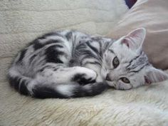 Silver tabby. Can I have him???? Please!