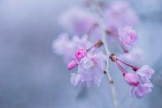 https://flic.kr/p/KiaoKM | 02042016_weeping cherry blossoms on sprays | Ai Nikkor 50mm f/1.4 with Panasonic DMC-GX7 April 4th, 2016 Fukasawa, Setagaya Ward, Tokyo, Japan