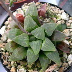 El género Haworthia fue bautizado por el botánico Adrian Hardy Haworth . Dependiendo de los autores, Haworthia puede constar de unas 60 a 200 especies. Nosotros aquí usamos un enfoque más...
