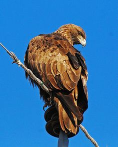 Golden Eagle (Aquila chrysaetos) -- one day a Golden Eagle perched in a Pine tree just outside our cabin door.  Absolutely awe-inspiring . . .unbelievably majestic.